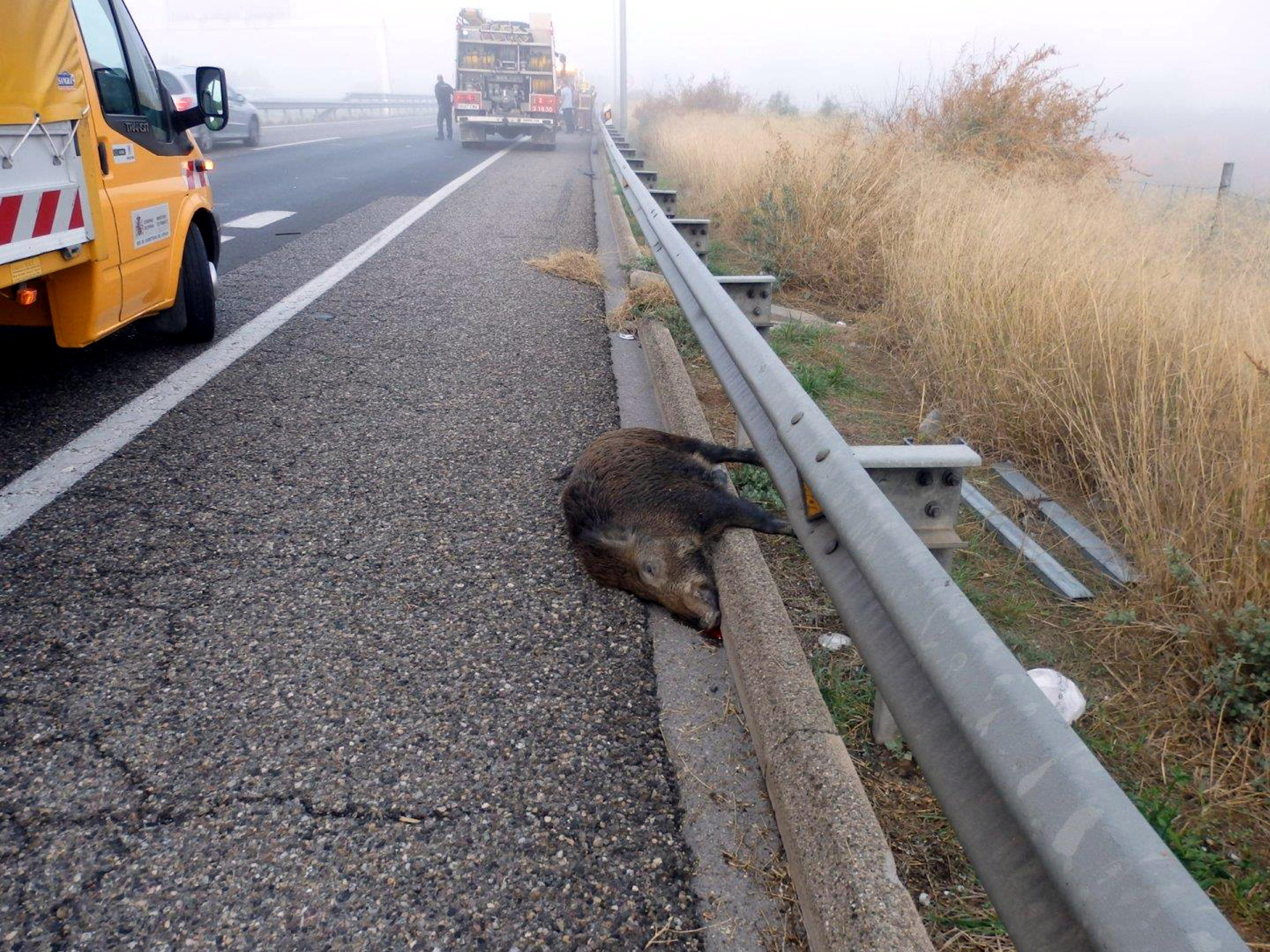 Rècord de 500 accidents amb senglars a la plana de Lleida, on creixen també els sinistres amb cabirols