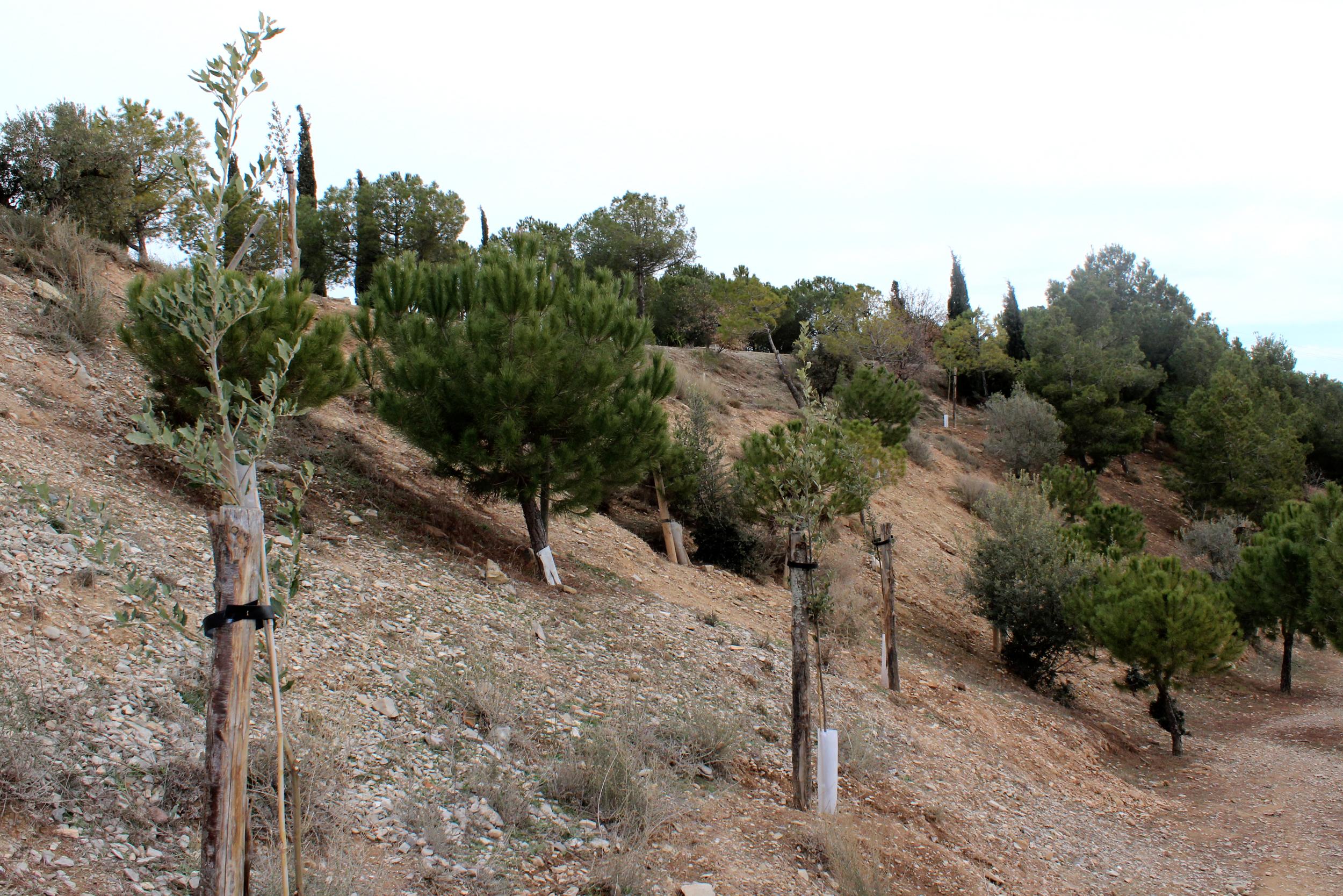 Nova fase de plantacions al Parc de Sant Eloi de Tàrrega amb la incorporació d'una quarantena d'alzines