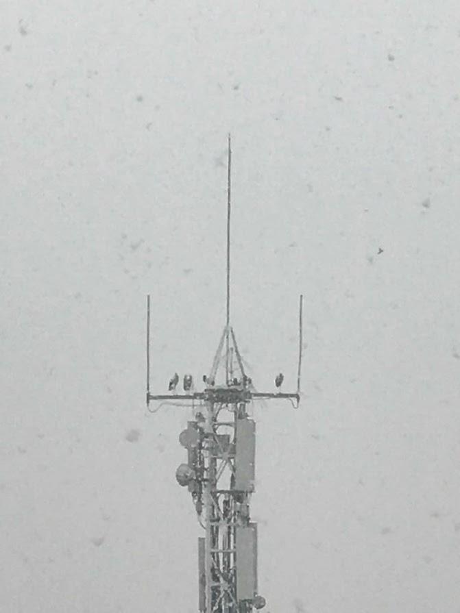 El grup ecologista GEMA de Tàrrega demana la retirada d'uns protectors per impedir l'accès de cigonyes a l'antena de Telefònica