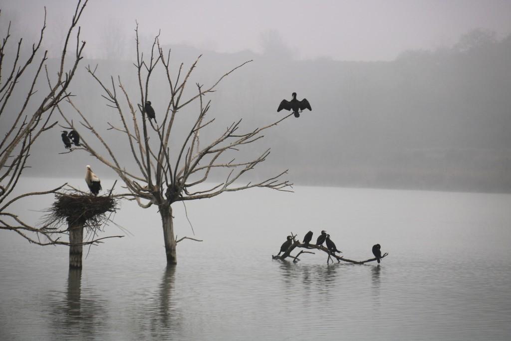 Pla mig on es poden veure diversos ocells aturats en uns arbres submergits a l'estany d'Ivars i Vila-sana, enmig de la boira, l'1 de febrer de 2018. (Horitzontal)