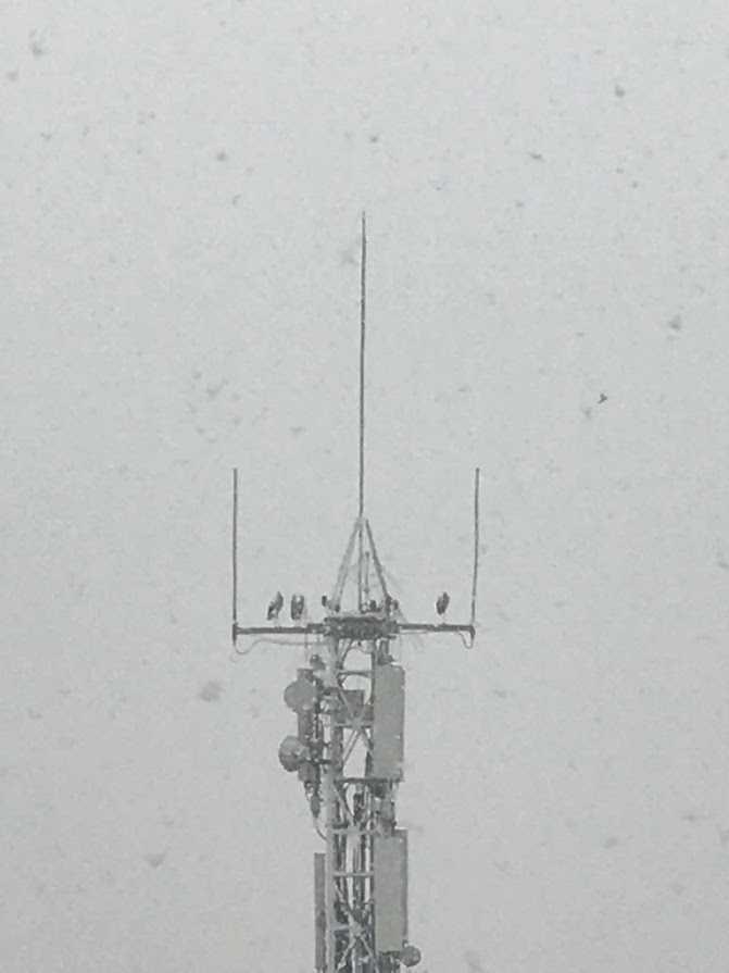 Telefònica retira els sistemes anti-cigonyes d'una antena propietat seva a Tàrrega