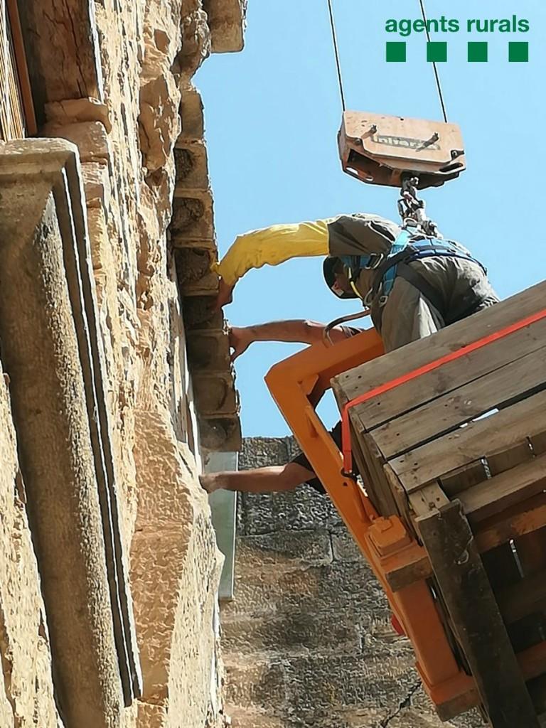 Els Agents Rurals, reubicant les orenetes de cua blanca al Monestir de Vallbona de les Monges, a l'Urgell. (Vertical)