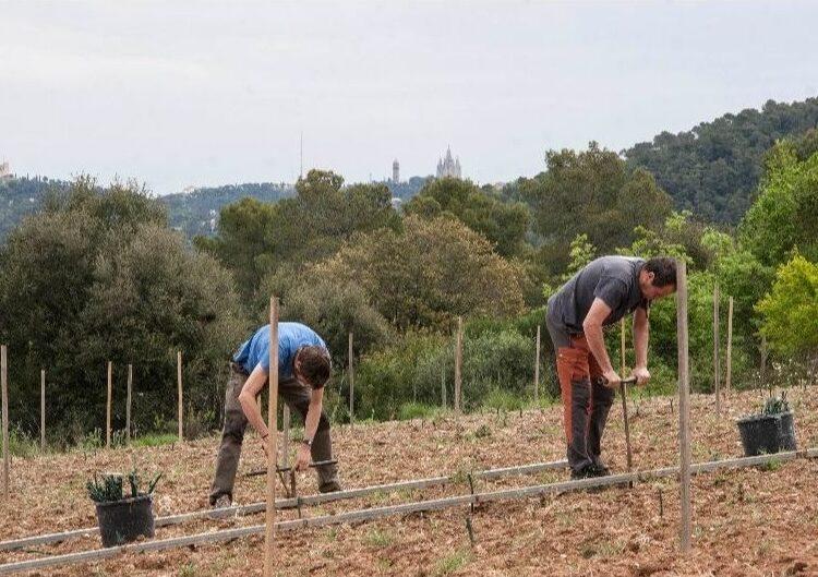 L'Olivera de Vallbona de les Monges inicia la plantació de la nova vinya de Barcelona a Can Calopa