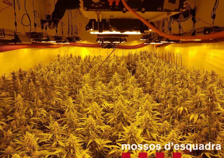 Els Mossos d'Esquadra detenen dues persones per cultivar 1.502 plantes de marihuana a l'interior d'un domicili de Guissona