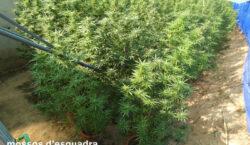Els Mossos d'Esquadra detenen un home a l'Urgell per cultivar…