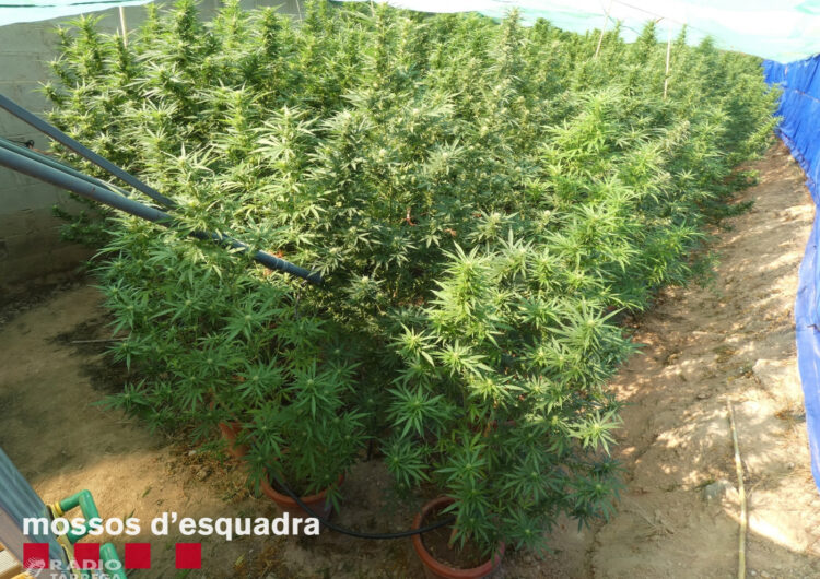 Els Mossos d'Esquadra detenen un home a l'Urgell per cultivar marihuana