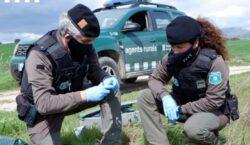 Els Agents Rurals denuncien l'ús d'esquers enverinats en una Àrea…