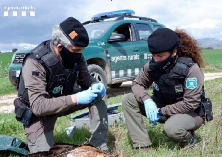 Els Agents Rurals denuncien l'ús d'esquers enverinats en una Àrea Privada de Caça a l'Urgell