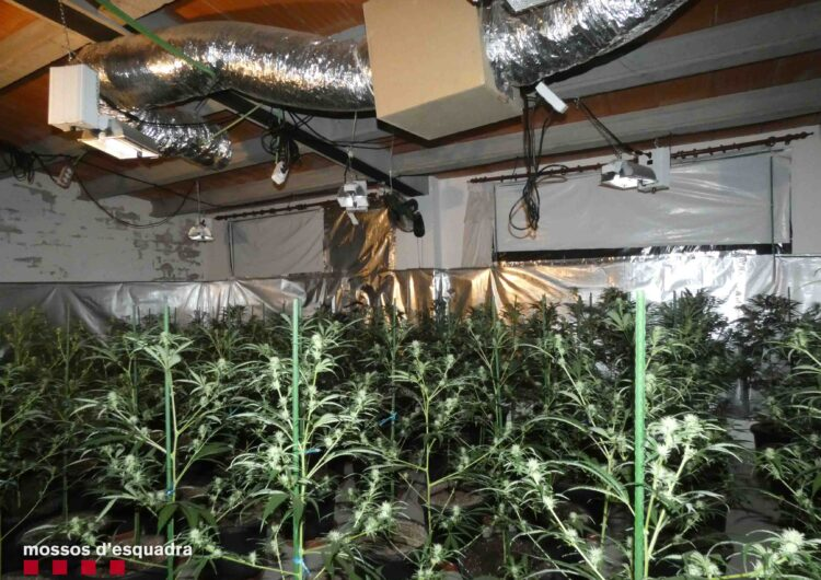 Els Mossos d'Esquadra detenen una dona a la Segarra per cultivar marihuana